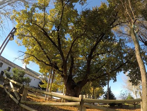 Mantenimiento y sustentación del Olmo centenario de Cabeza del Buey en Cáceres
